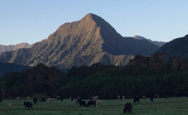 Grass-fed Beef at Kualoa Ranch